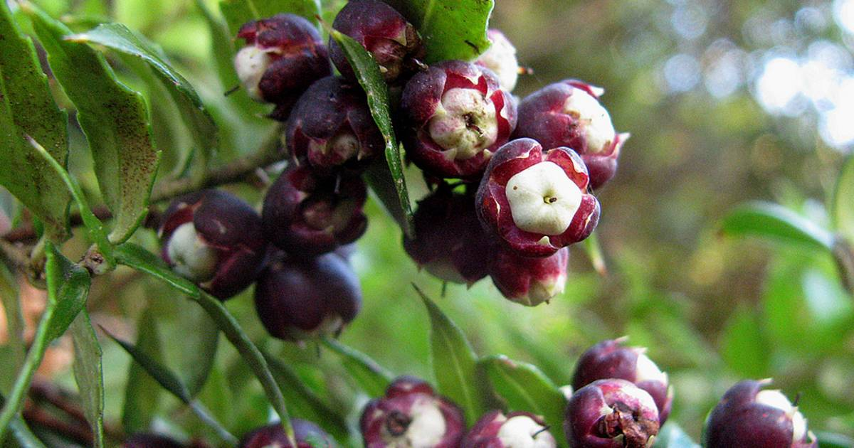 Wild Berries in Chile - Best Time