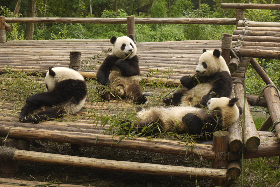 Giant Pandas in China - Best Season