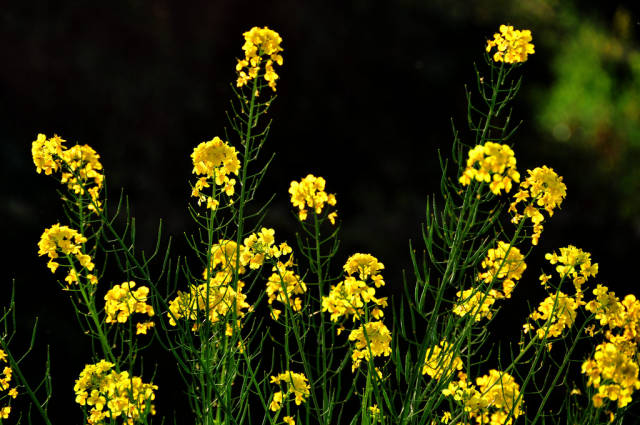 Best time for Canola Fields in Luoping in China