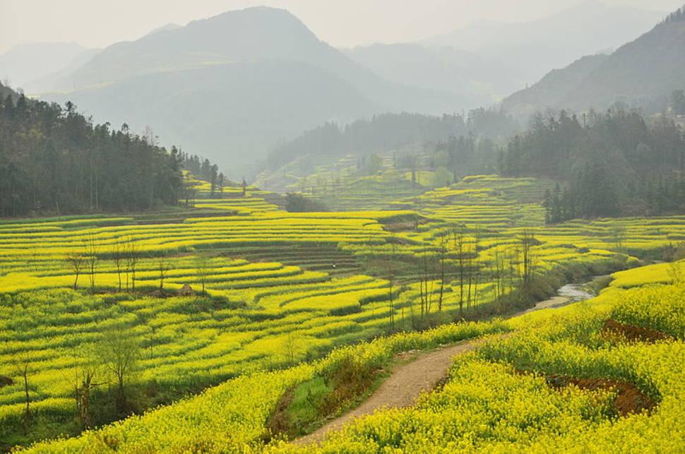 Canola Fields in Luoping in China - Best Season