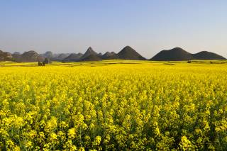 Canola Fields in Luoping