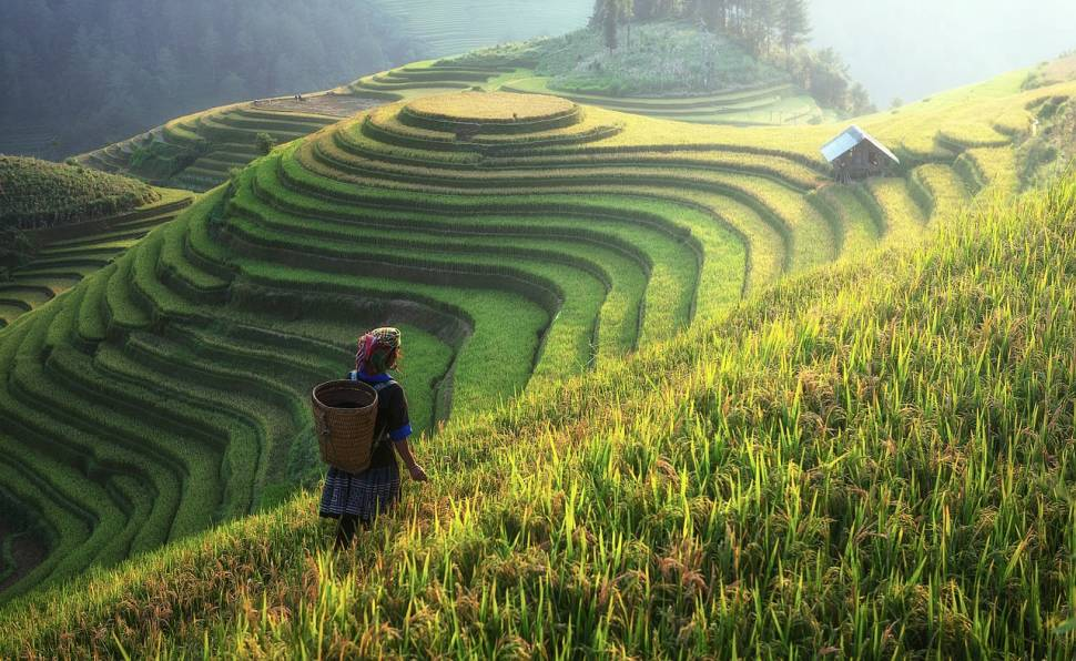Rice Harvest in China - Best Time