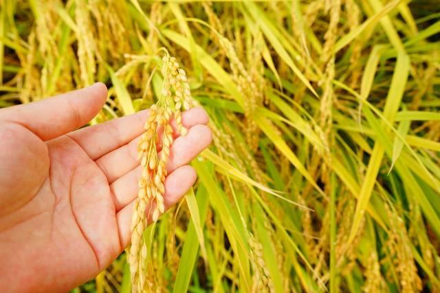 Rice Harvest in China - Best Season