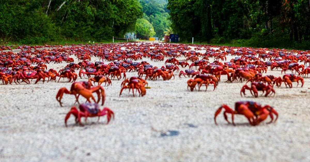 Best Time to See Red Crab Migration in Christmas Island ...