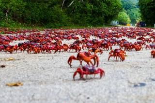 Red Crab Migration