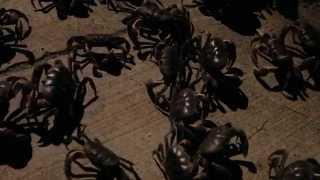 Black Land Crab Migration