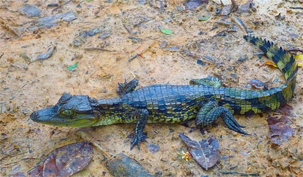 Baby caiman in the Colombian Amazon