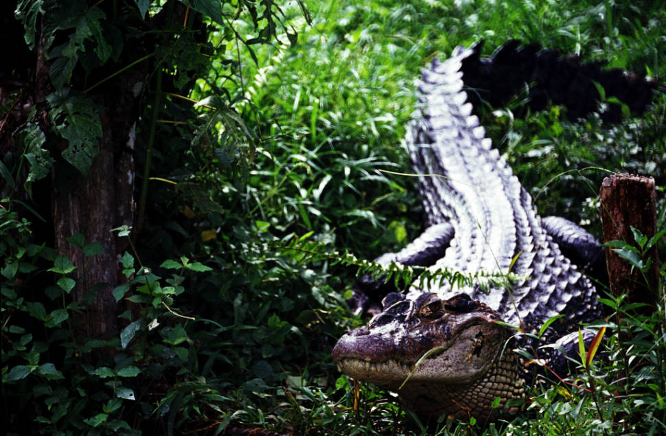 Caiman Watching in Colombia - Best Time