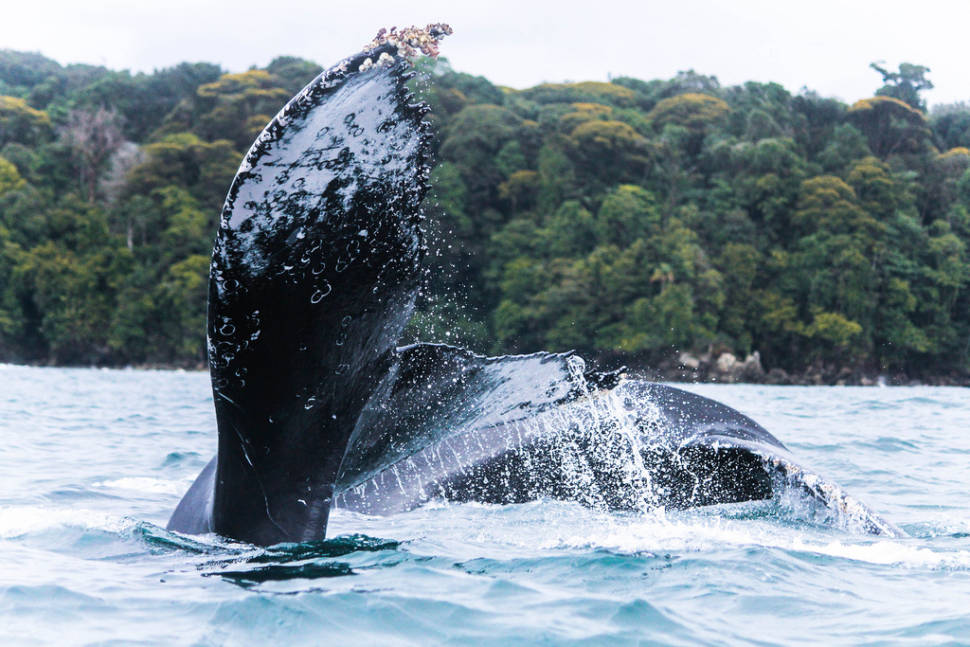 Humpback Whales in Colombia - Best Season