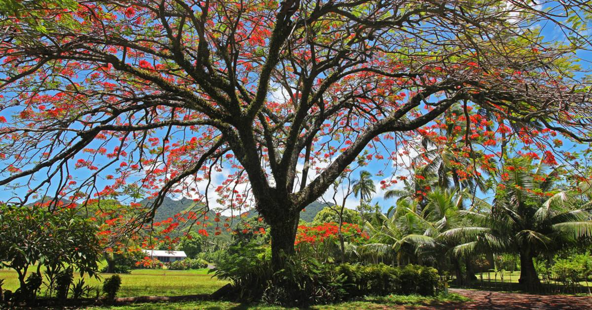 Flamboyant or Flame Tree in Rarotonga & Cook Islands - Best Time
