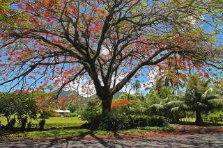 Flamboyant or Flame Tree