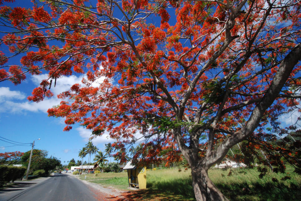 Wonderful tree in Rarotonga