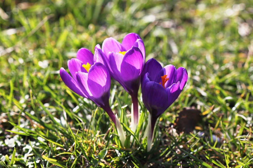 Crocus Blooming at Rosenborg Castle in Copenhagen - Best Season