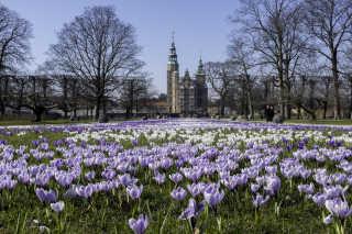 Crocus Blooming at Rosenborg Castle