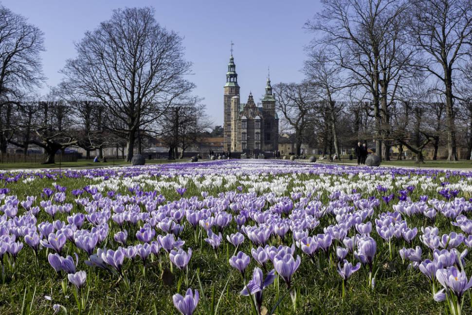 Crocus Blooming at Rosenborg Castle in Copenhagen - Best Time