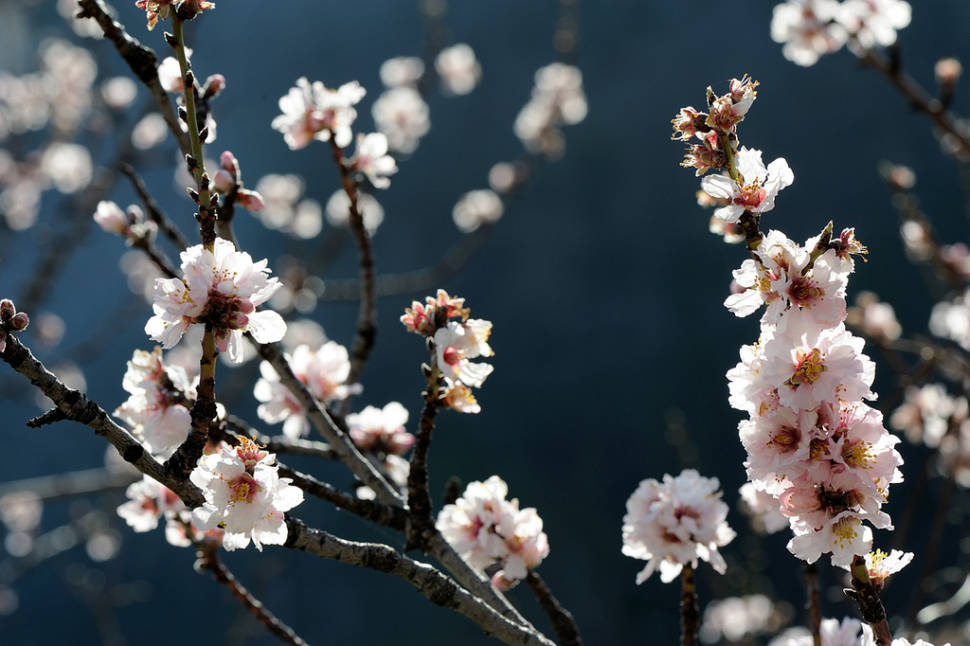Almond Trees in Bloom in Corsica - Best Time