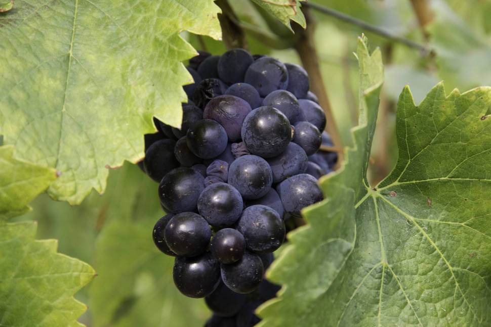 Best time for Wine Season in Corsica