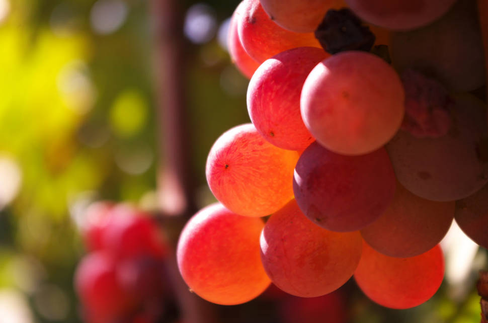 Wine Season in Corsica - Best Time
