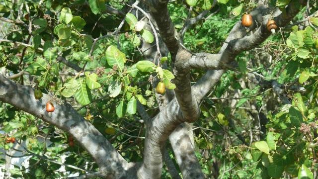 Cashew in Costa Rica - Best Season