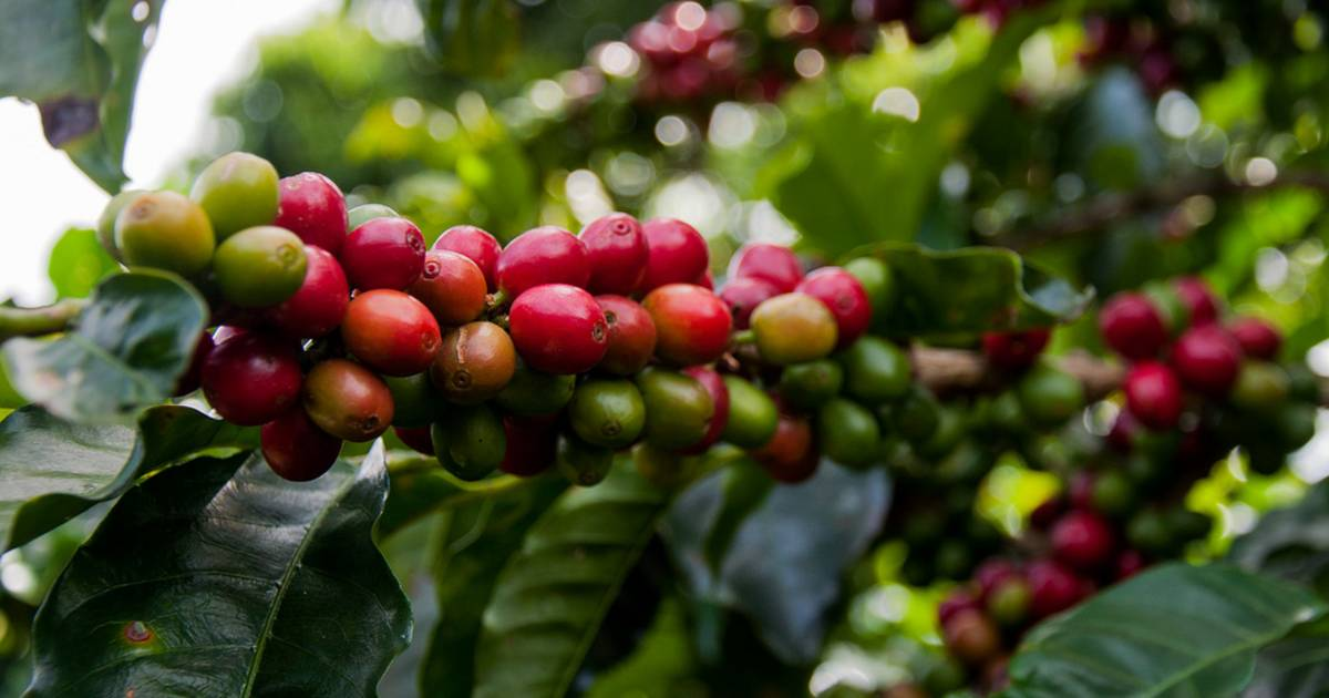 Coffee Harvest in Costa Rica - Best Time