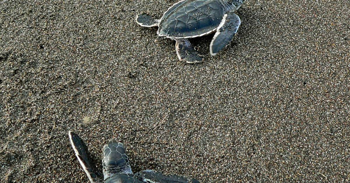 Green Turtles in Costa Rica - Best Time