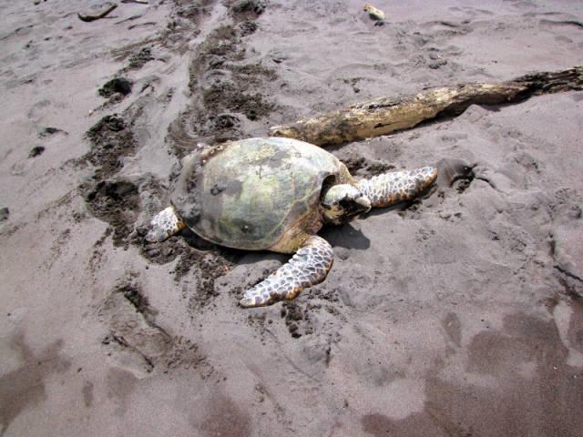 Hawksbill Turtles in Costa Rica - Best Season