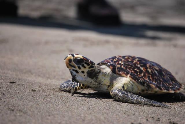 Hawksbill Turtles in Costa Rica - Best Time