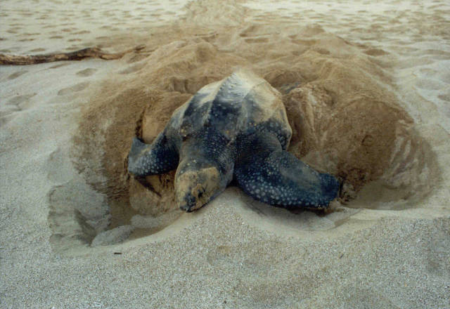 Leatherback Turtles on the North Caribbean in Costa Rica - Best Time