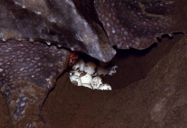 Leatherback Sea Turtle female covering its eggs