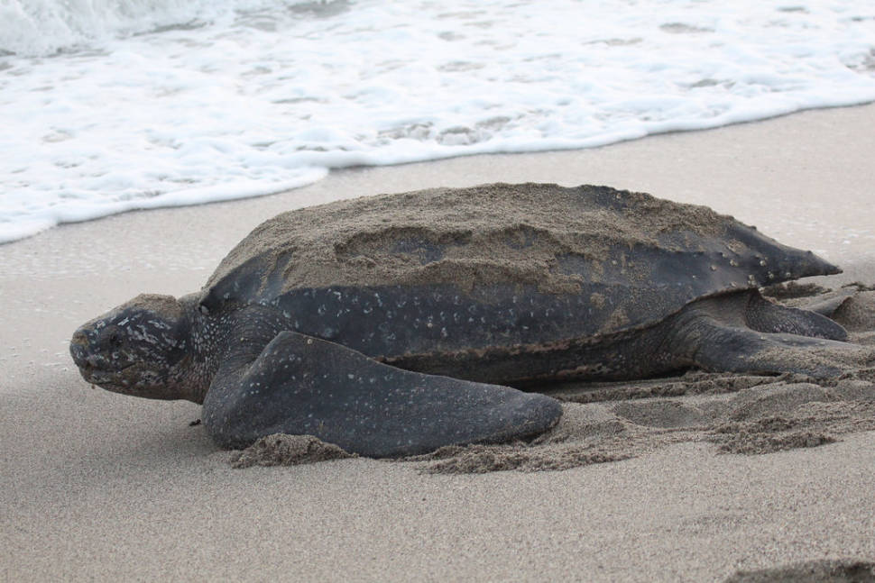 Leatherback Turtles on the Pacific in Costa Rica - Best Season