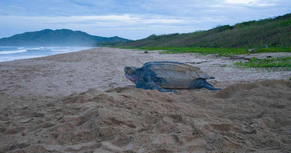 Leatherback Turtles on the Pacific in Costa Rica - Best Time