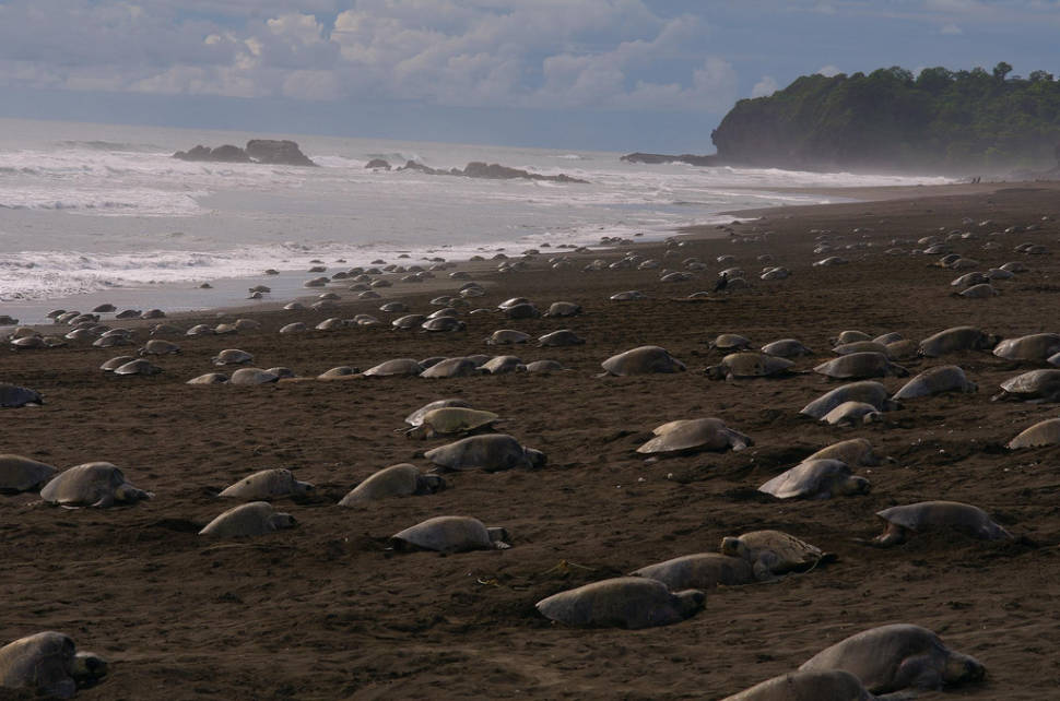 Olive Ridley Turtles in Costa Rica - Best Season