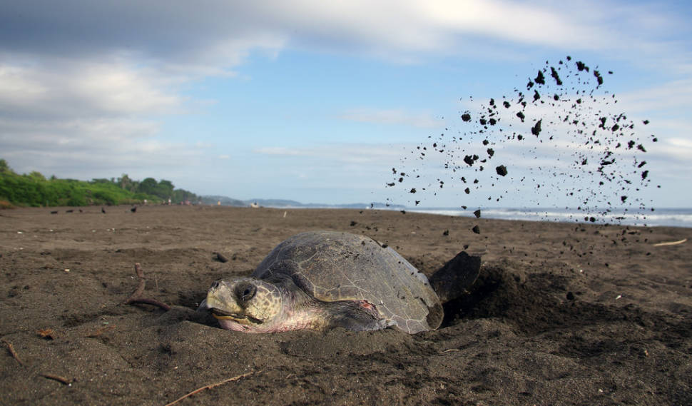 Best time for Olive Ridley Turtles in Costa Rica