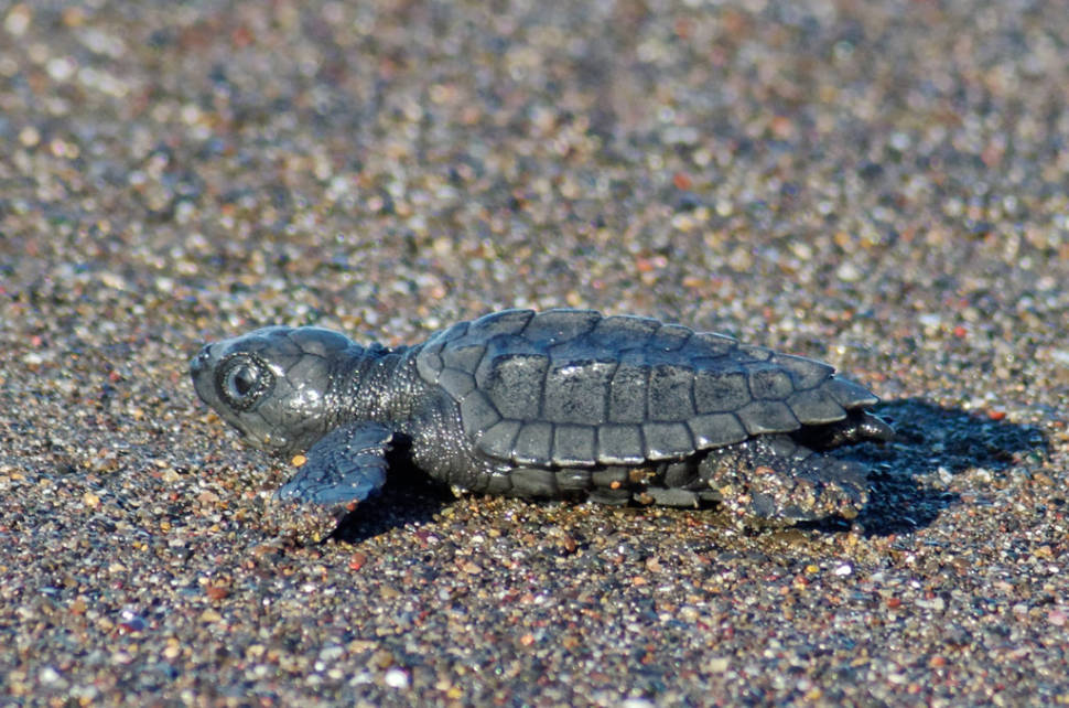 Best time to see Olive Ridley Turtles in Costa Rica