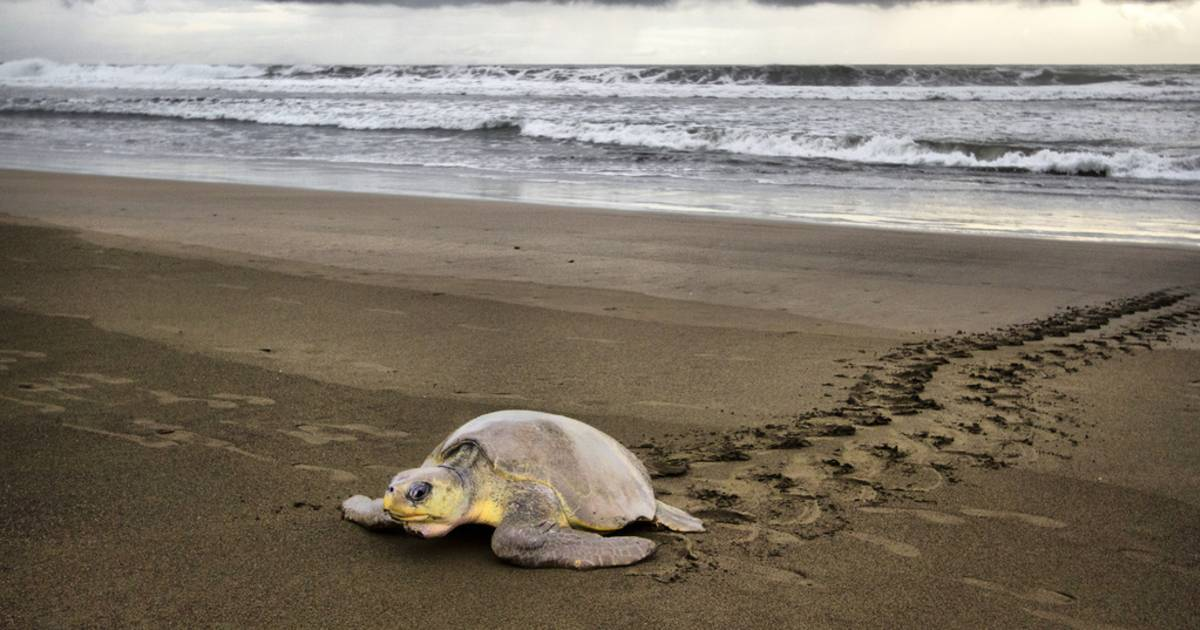 Olive Ridley Turtles in Costa Rica - Best Time
