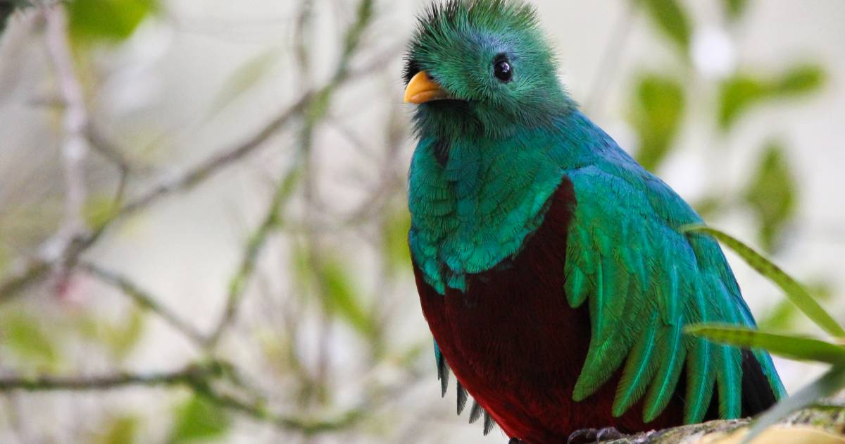 Resplendent Quetzal in Costa Rica - Best Time