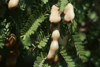 Tamarind Fruit