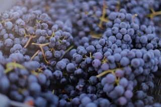 Grape Season
