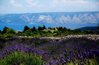 Lavender Bloom on Hvar Island