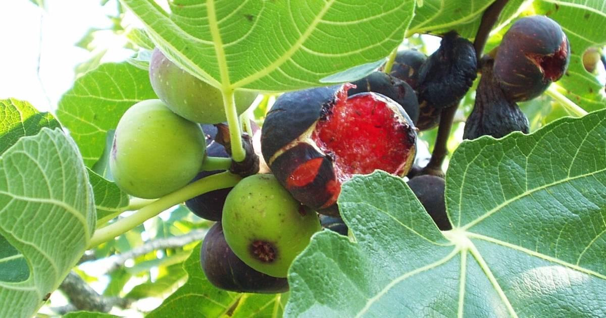 Wild Figs in Croatia - Best Time