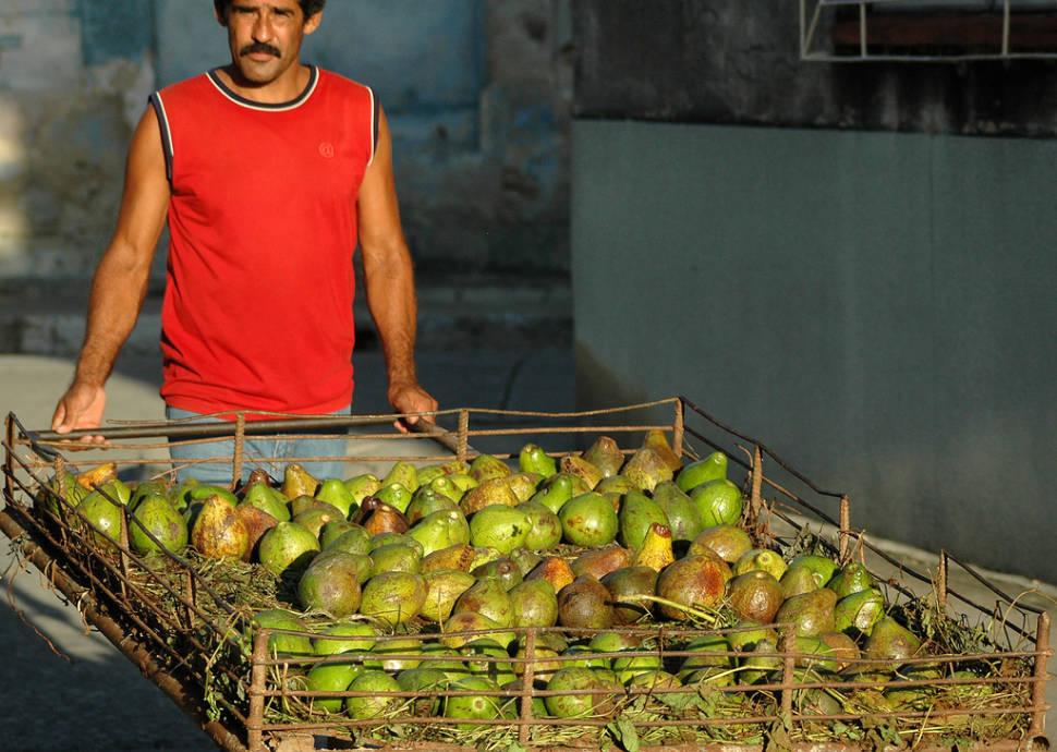 Avocado Season in Cuba - Best Season