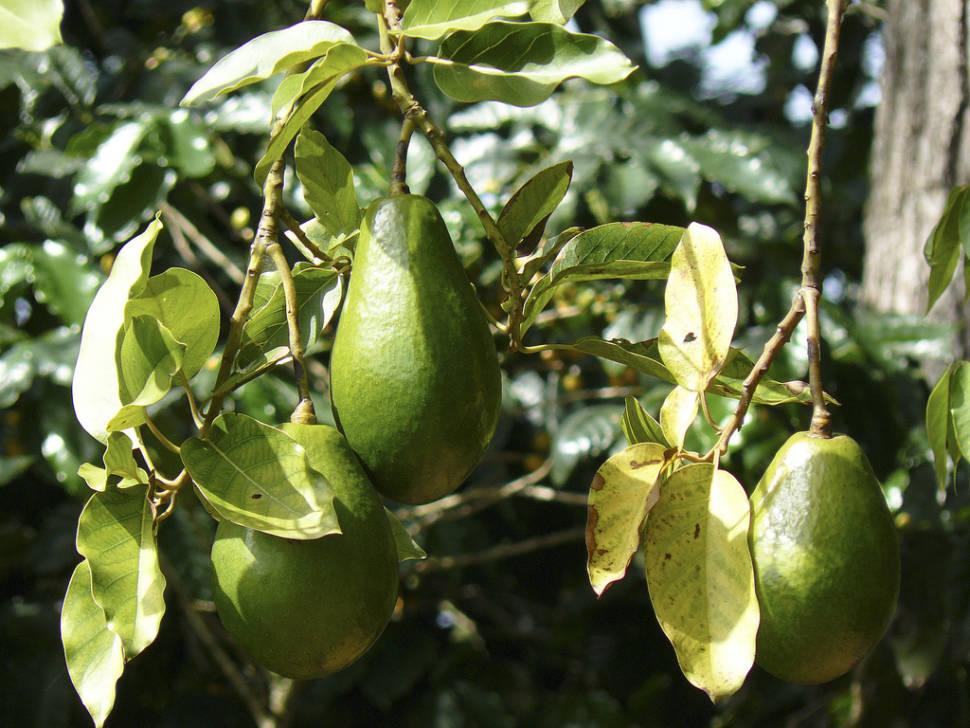 Avocado Season in Cuba - Best Time