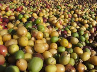 Coffee Harvest