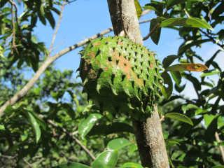 Guanabana Season
