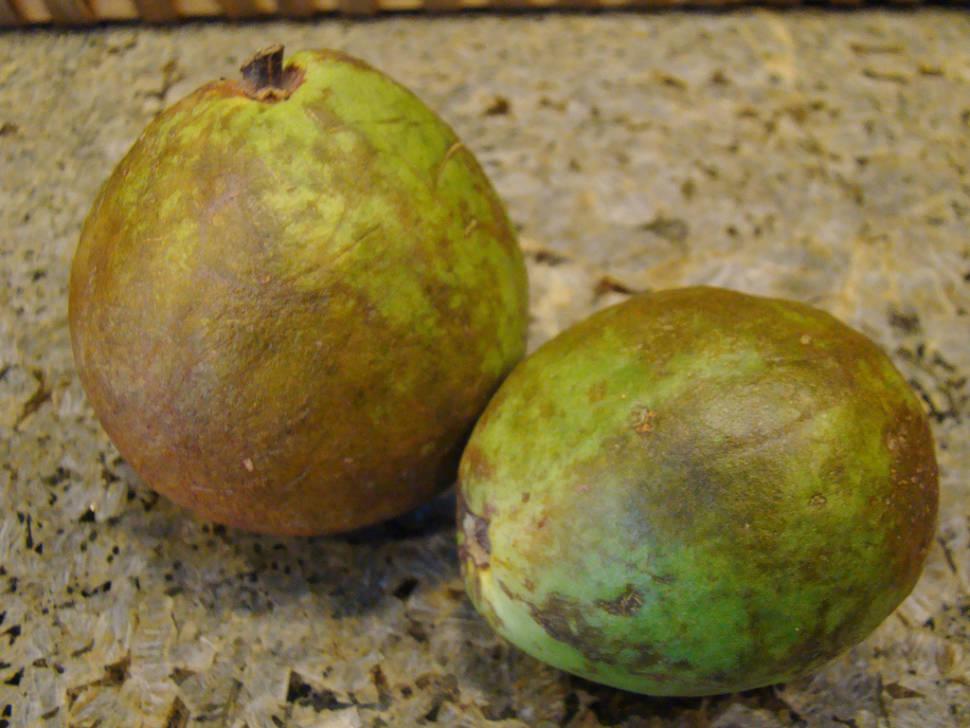 Guava or Guayaba in Cuba - Best Season