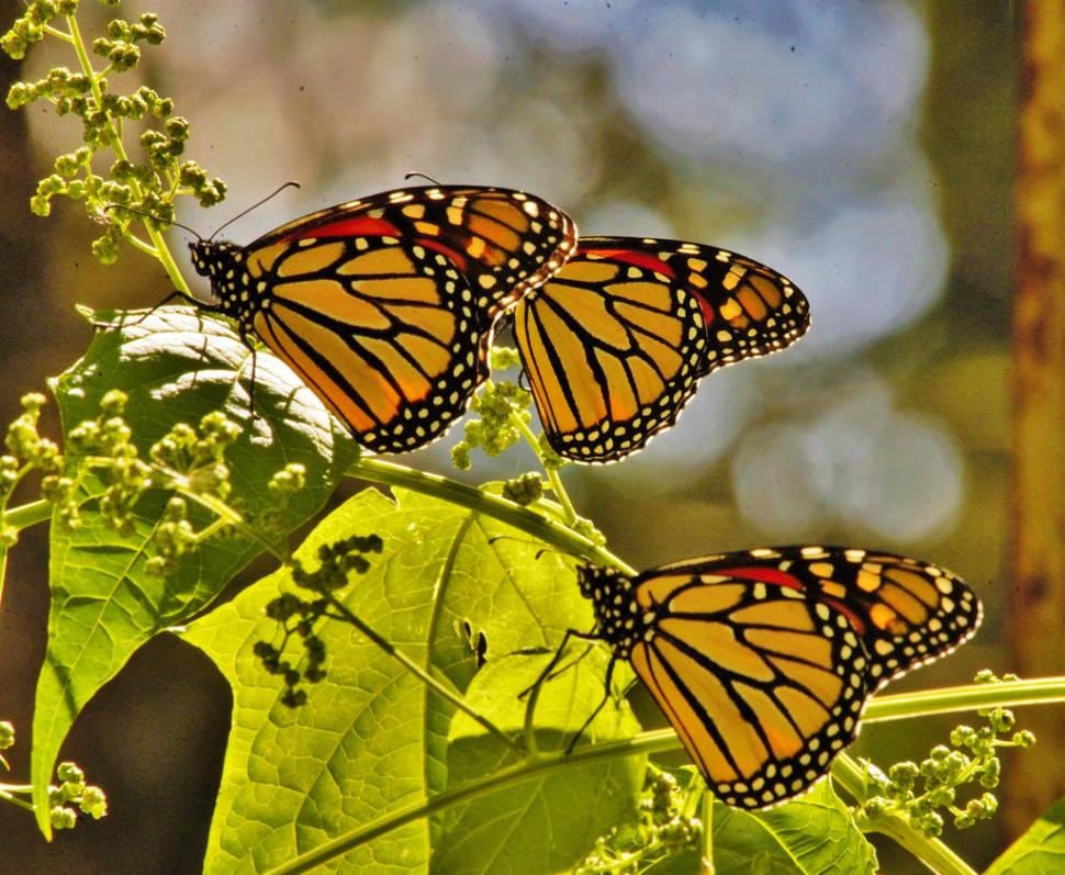 Monarch Butterfly Migration in Cuba - Best Time