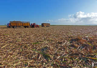 Zafra Harvest