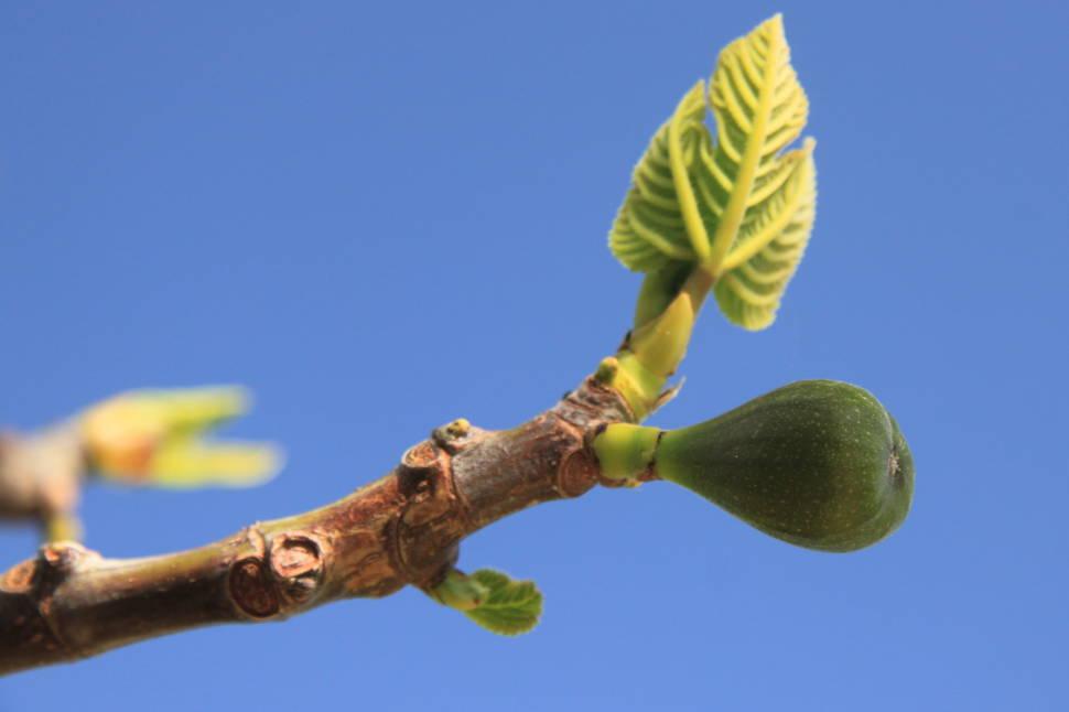 Figs in Cyprus - Best Season