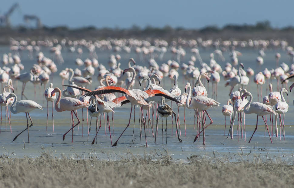 Greater Flamingos in Cyprus - Best Time