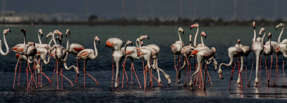 Often, Greater Flamingoes arrive first at the Akrotiri Lake, and later on move to Larnaca Lake